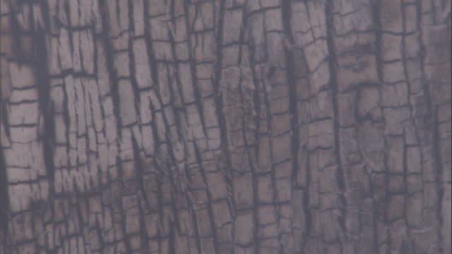 Smoke drifts past burnt tree trunks after a wildfire. Available in HD.