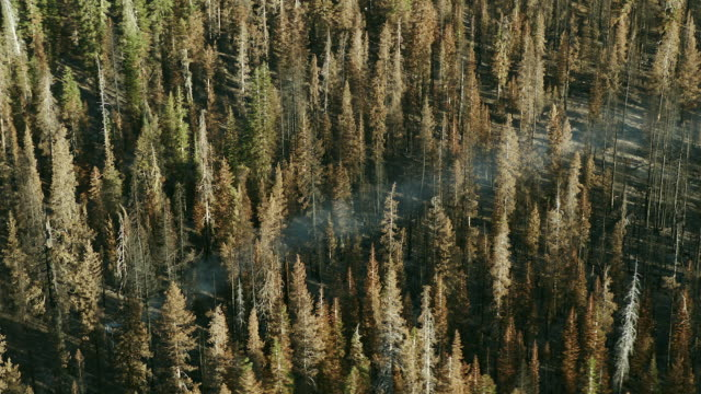 Smoke wafts through the trees in Lassen National Forest, aerial view.