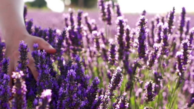 Smooth touching Lavender flower slow motion