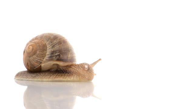 HD snail crawling in studio