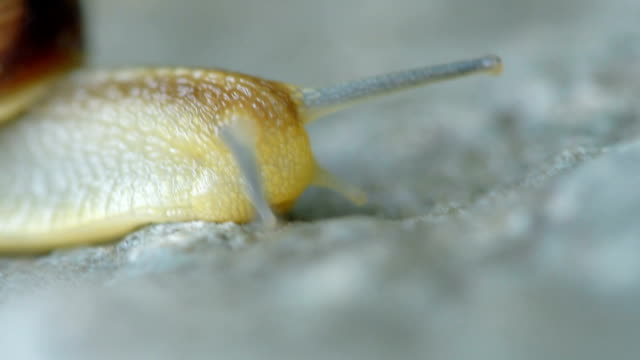 Lumaca crawling su una pietra
