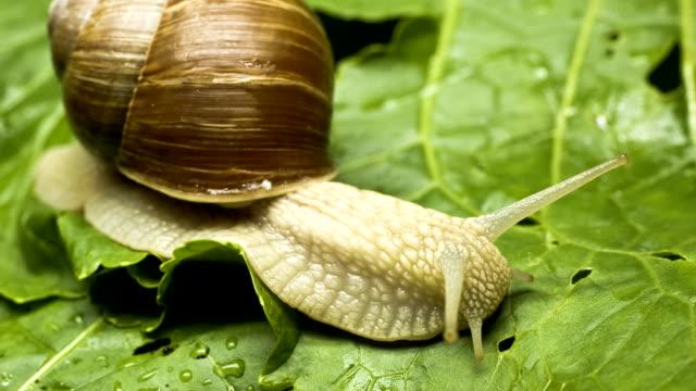Snail eating lettuce