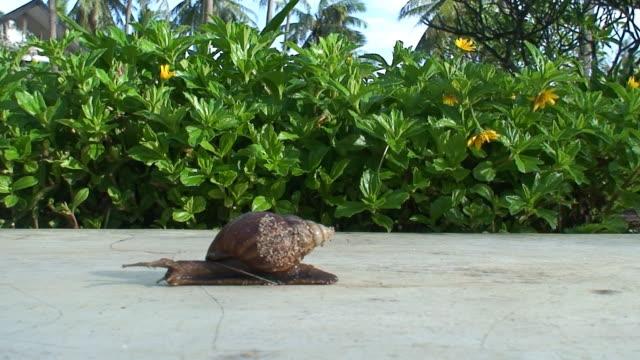 Snail  HD