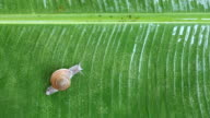 Snail on banana palm green leaf