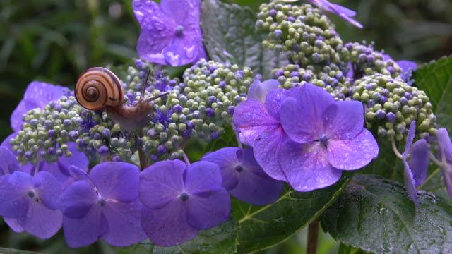 Snail on the hydrangea flower