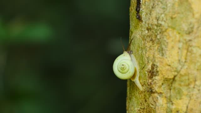Snail walking on tree in rain forest.