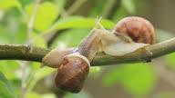 snails on a branch