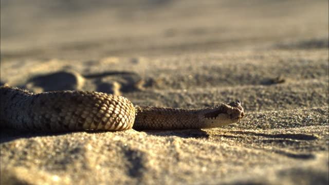 A snake coils as glittery sand blows past it.