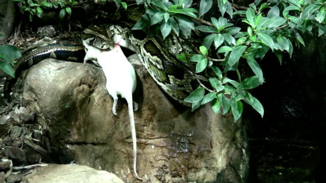 HD: snake devour rat