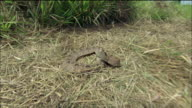 POV ZI ZO Snake on grassy field striking camera / Siem Reap Province, Cambodia