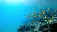 Snapper school of fish on Red Sea / Marsa Alam