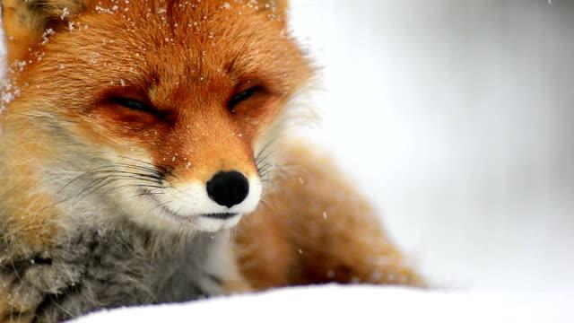 Sniffing fox