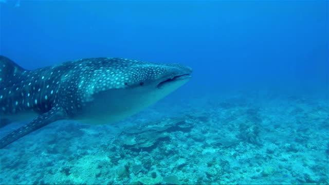 Schnorcheln mit Walhaien auf den Malediven