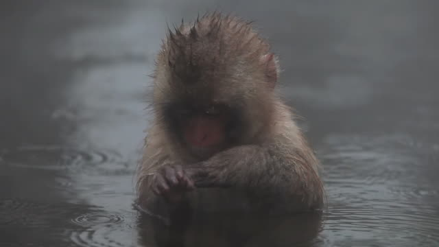 MS Snow baby Monkey (Japanese Macaque) in Hot Spring / Jigokudani, Nagano, Japan