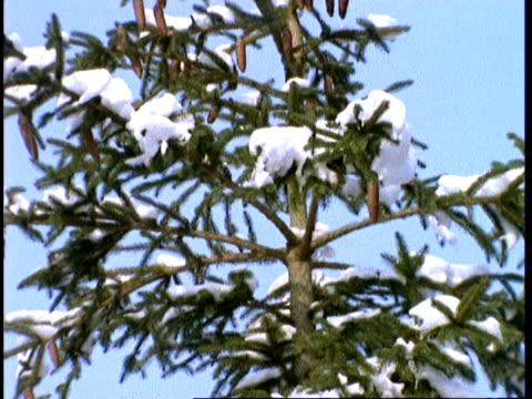CU snow covered pine tree, England, UK