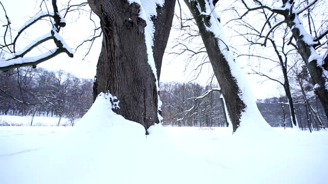 Snow covered trees; HD DOLLY