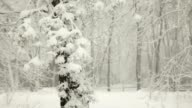 Snow Falling in Blizzard and Pine Trees in Winter (Video)