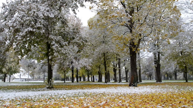 MS TD Snow falling on colorful autumn leaves on tree in park /  Landshut, Bavaria, Germany