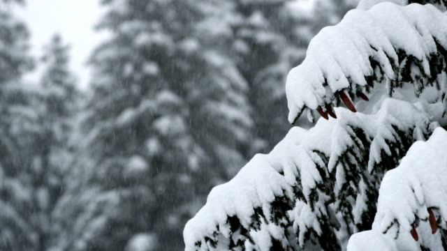 Snow Falling On Spruce Trees