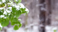 Snow falls on green leaves in the forest.