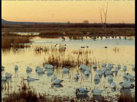 Snow geese and sandhill cranes gather in marsh at dusk, New Mexico