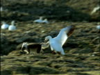 Snow geese chase arctic fox away from nest on tundra, Banks Island, Canada