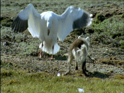 Snow geese try to protect their goslings from arctic fox, Banks Island, Canada