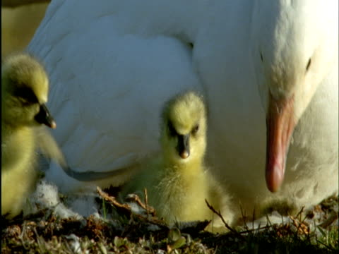 Snow goose and goslings in nest on tundra, Banks Island, Canada