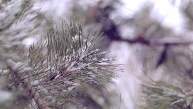 Snow in the pine forest