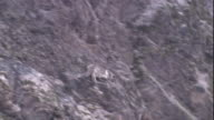 A snow leopard chases a markhor down a steep mountainside and catches it briefly, before it escapes into a river. The first snow leopard hunt to be captured on film. Available in HD.