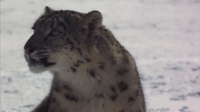 A snow leopard sniffs the air and looks around.