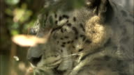 Snow Leopard wakes from sleep Available in HD.