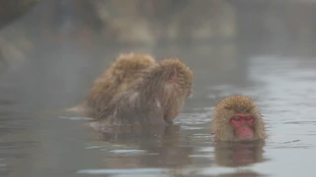 Scimmia di neve (Macaco del Giappone) in una piscina calda, Giappone