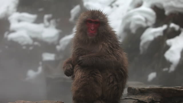 MS Snow Monkeys (Japanese Macaque) in Hot Spring / Jigokudani, Nagano, Japan
