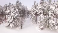 4K Snow pine forest