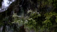 Schneebedeckten pine branch