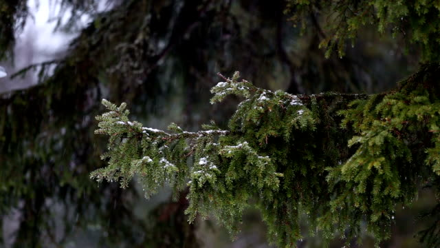 Snow-capped pine branch