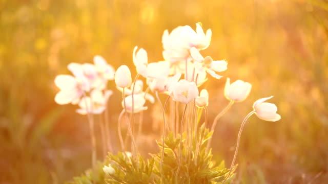 Snowdrop Anemones