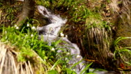 SLO MO Snowdrops growing by a rapid stream