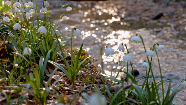 DS Snowdrops growing by the creek