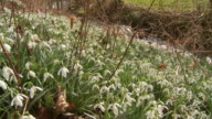 snowdrops in front of stream, dolly shot downhill