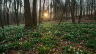 T/L 8K Snowdrops in the forest at sunrise