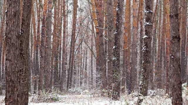Snowfall in the pine forest.