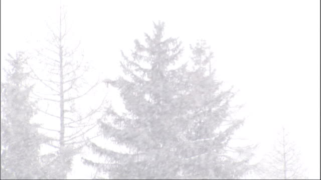 Snowflakes fall on a forest of pine trees. Available in HD.