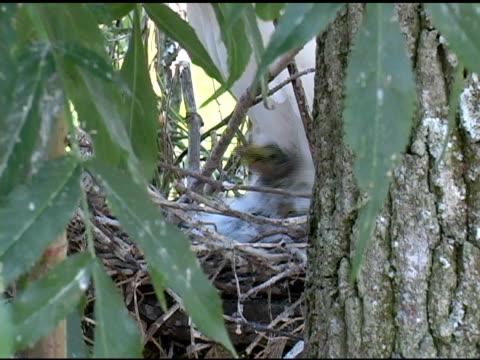 Snowy Egret Chicks Closeup