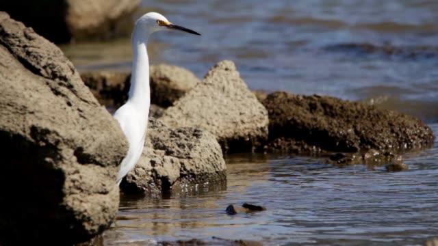 Snowy egret (Egretta thula) in Puertito del Buceo, Montevideo, Uruguay, 2015