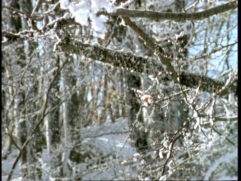 CU snowy scene, view through trees, Abruzzi, Italy