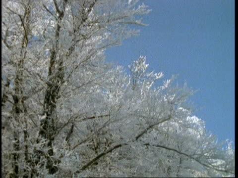 MS snowy woodland scene, tilt down from treetops, Abruzzi, Italy