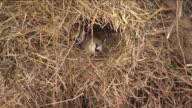 CU Social weaver birds in nest / Kalahari, Northern Cape, South Africa