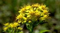 Solidago virgaurea subsp